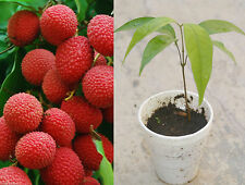 Sweet Red Lychee Tropical Fruit Live Seedling Rooted Potted Plant Tree