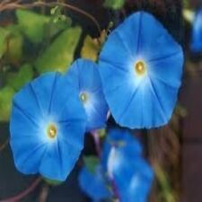 Morning Glory Heavenly Blue Nice Garden Flower 60 Seeds