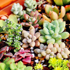 150pcs Mixed Shape Succulent Seeds Pot Lithops Living Stones Plants Cactus Plant