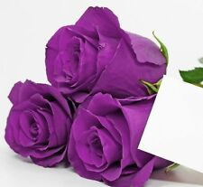 Purple Roses Violet Rose , Double Flower - 10seeds-F-080
