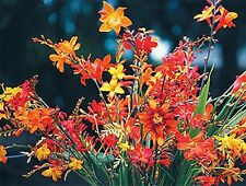 10 bulbs/corms  Crocosmia 'Full palette collection' Humming birds favorite!