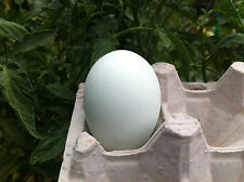 Silkie X Ameraucana Hybrid Cross - Fertile Eggs for Hatching [+2 eggs]