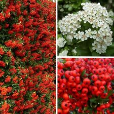 Pyracantha Red Column (Firethorn) - Excellent Evergreen Hedge