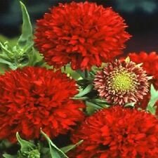 """GAILLARDIA 'Puchella' ~ Sundance Red~ """"Blanket Flower-Dwarf""""  25+ Annual Seeds"""