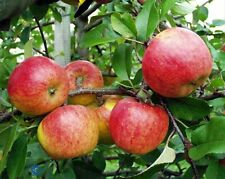 Gala Apple Tree Plant - 10 seeds- NON GMO, From Moldova