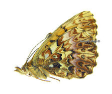 Unmounted Butterfly/Nymphalidae - Boloria titania cypris, FEMALE, Russia