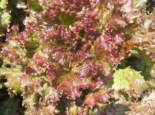 1,000 Seeds Red Sails Lettuce Seeds Vegetable Seeds