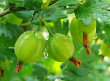 Live Amla-Gooseberry - Emblica Officinalis-Ornamental Fruit Plant -Pack in 1 pot