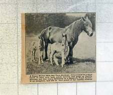 1921 Shire Horse On Stoke-on-trent Farm Gives Birth To Twin Foals