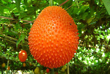 5 SEEDS GAC FRUIT RARE MOMORDICA COCHINCHINENSIS EXOTIC HEALTH BENEFIT