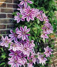 """CLEMATIS ~Deep Rose-Pink ~ """"Nelly Moser"""" Large blooms  5+ Hardy Perennial Seeds"""