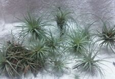 10 Pack Tillandsia Air Plants, Easy Care Naturally Grown in Florida Best Deal!