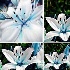 50pcs Blue Rare Lily Bulbs Seeds Asiatic Scented Perennial Flower Lilium Garden