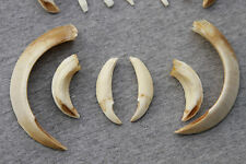 Wild boar, tusks,taxidermy,teeth,antlers,deer skull, handcraft