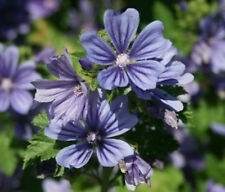 Malva sylvestris Primley Blue 15 seeds