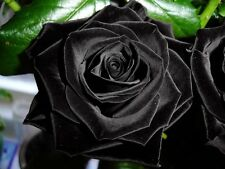 Flower seed - Valvet Black Rose seed - Pack of 10 seed