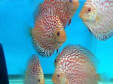LIVE DISCUS FISH- (4 inch) Checkerboard Pigeon Discus- NO RESERVE!