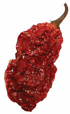 Dried Whole Ghost Peppers Seed Pods 1 Oz 20 Wicked Tickle Chili Peppers Very Hot