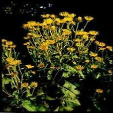 Wildflower Seeds - Elecampane - 120 Seeds