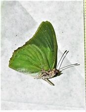 Lot of 2 Green Charaxes Butterfly Charaxes eupale eupale Male Folded  Fast USA