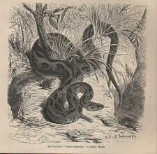 Druck 1878: Kettenviper (Vipera Russellii).