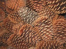 """TEXAS PINE CONES, LARGE (4-1/2"""" to 5""""), SLASH OR LOBLOLLY, SET OF 12"""