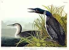 Audubon's GREAT NORTHERN LOON  (Diver)      Classic Art at a great price !