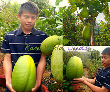 AMAZINGLY HUGE CITRUS! Vietnam: 'Giant Lime' Avg.9 pounds/fruit!! V. RARE SEEDS.