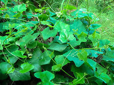 Thai Coccinia grandis 50 Seeds, Ivy Gourd, Vegetable Plant Seeds From Thailand.
