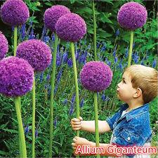 10x Giant Allium Globemaster Allium Giganteum Onion Organic Magenta Flower Seeds