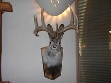 BIG NEW 8 POINT JACKALOPE,RABBIT,BUNNY PROFESSIONAL DONE,WHITETAIL DEER ANTLERS