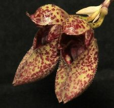 Orchid species Bulbophyllum frostii