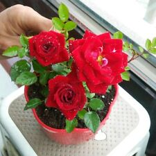 "Beautiful Bonsai "" Red Rose ""  rose flower Seeds , 10 seeds pack"