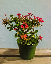 DWARF RED CROWN OF THORNS - 4 INCH PLANT