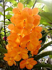 ORCHID PLANT  ***ASCOCENDA*** PLANT  - FLOWERING SIZE [ RARE ORCHID COLLECTION]