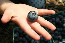 BLUEBERRY SEEDS * DRYLAND VARIETY* ROCKY SOIL* ORNAMENTAL* WAXY BLUE BERRIES*