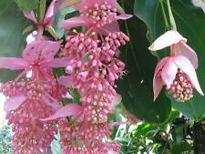 Medinilla magnifica | Showy | Philippine orchid | 20_Seeds FREE SHIPPING TO US