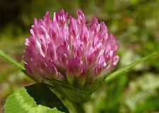 Fairy Garden x25 wild Red Clover seeds Fairy Garden, Wild  Flower Seed