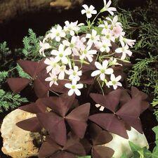 Oxalis regnellii var. triangularis - 2-bulb Oxalis triangularis ( Oxalidaceae )