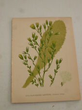 VICTORIAN PRINT - Strong Scented Lettuce (Lactuca Virosa) - Size 11 x 15 cm