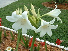 Crinum Lily, Powellii Album, large, blooming-size bulb