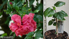 Hibiscus-Pride of Hankins-Live Plant- Rosa Sinensis- Red Triple - Collecters!