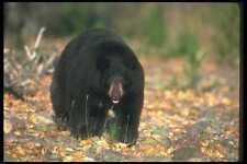 100064 Black Bear In Leaf Strewn Forest A4 Photo Print