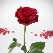 Impérissable Rose Éternels conservable conservé Saint-valentin Cadeau d'amour