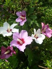 "5 Hibiscus Syriacus ROSE OF SHARON  18-24"" tall Trees, Mixed colors, Saplings"