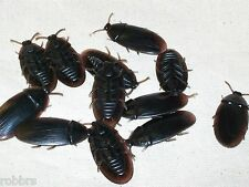 144 Large Rubber Fake Creepy Cockroach Bugs Roaches Gross Pest Halloween Prop
