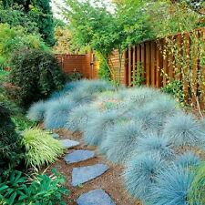 400 Blue Fescue Grass Seeds Ornamental   - Festuca Glauca -Perennial 1