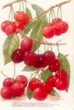 Cherries~counted cross stitch pattern #278~Floral Fruit Nature Garden Chart