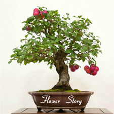 Damson Plum Tree Plant 5 Seeds Prunus Domestica Damask Prune Drupaceous Fruits