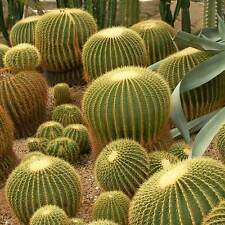 Echinocactus grusonii - 100 seeds - Mother in Law Cushion